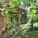 прививка яблони, груши и сливы