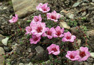 Saxifraga oppositifolia создание альпинария