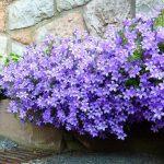 Campanula muralis почвопокровные растения