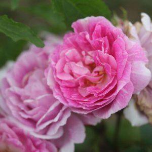 роза Королева Бурбонов