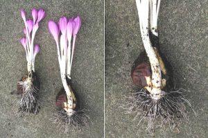 ядовиты ли луковицы безвременника